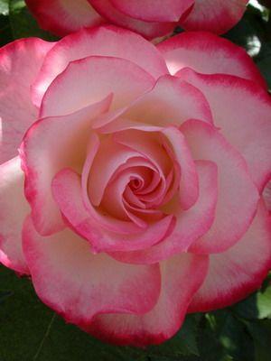 Розы садовые названия сортов и фото