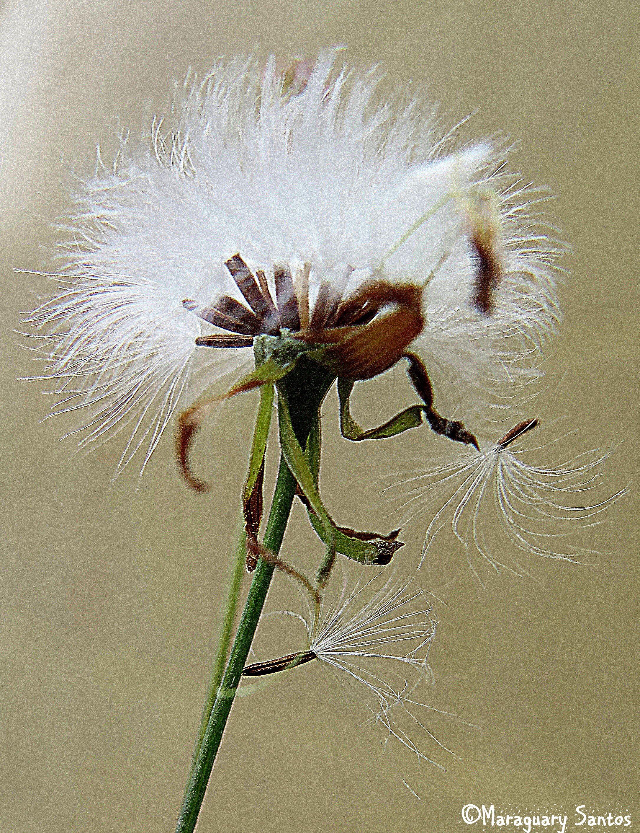 Top Dente de Leão - Flor de Vento | Flores de vento - Dentes de leão  KN95