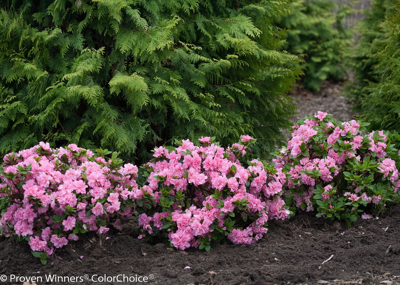 Shop For Bloom A Thon Pink Double Azaleas Online And Ship It Directly To Your Door From The Nursery Shop Our L Azaleas Landscaping Azalea Flower Pink Azaleas