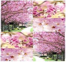 Japanese Sakura Flowering Cherry Prunus Serrulata Tree Seed Japanese Cherry Blossom Tree Zones 5 8