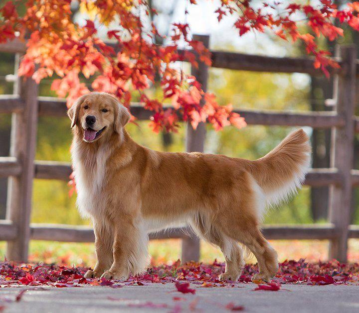 Golden Dogs Golden Retriever Dog Photography Dog Life