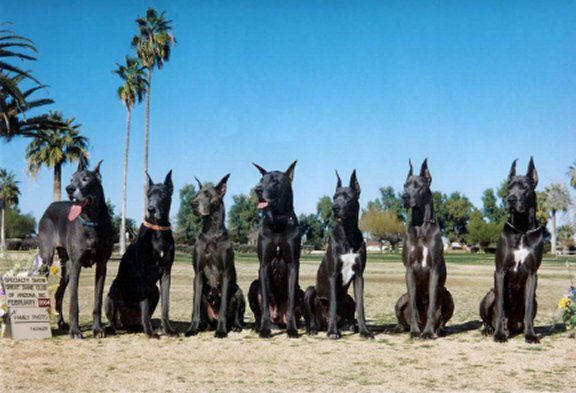 A Pack Of Great Danes Nice Family Living Together Peace B With U