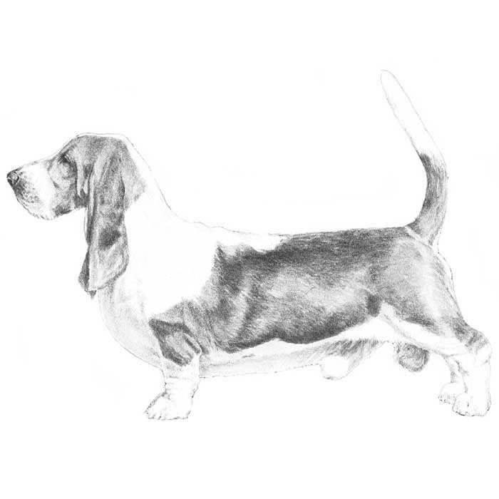 Basset Hound Dog Breed Information Hound Dog Breeds Dog Breeds