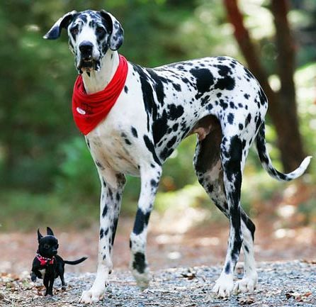 Chihuahua And Great Dane Funny Dog Photos