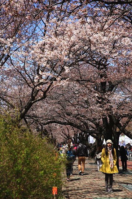 Yeouido Spring Flower Festival Flower Festival Spring Flowers Seoul Photography