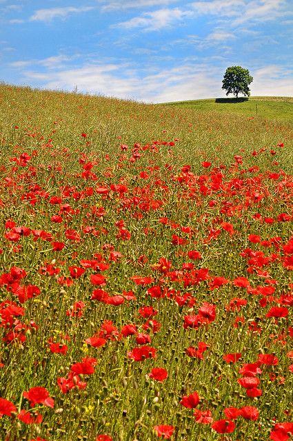 Poppy fields near Bern, Switzerland by Tambako Beautiful