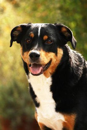 Appenzeller Sennenhund Charakter Wesen Hunde Fan De Dogs Animals Image