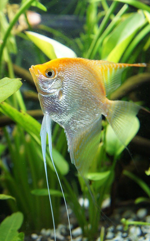 Angel Fish Angel Fish Aquarium Fish Tropical Fish Aquarium