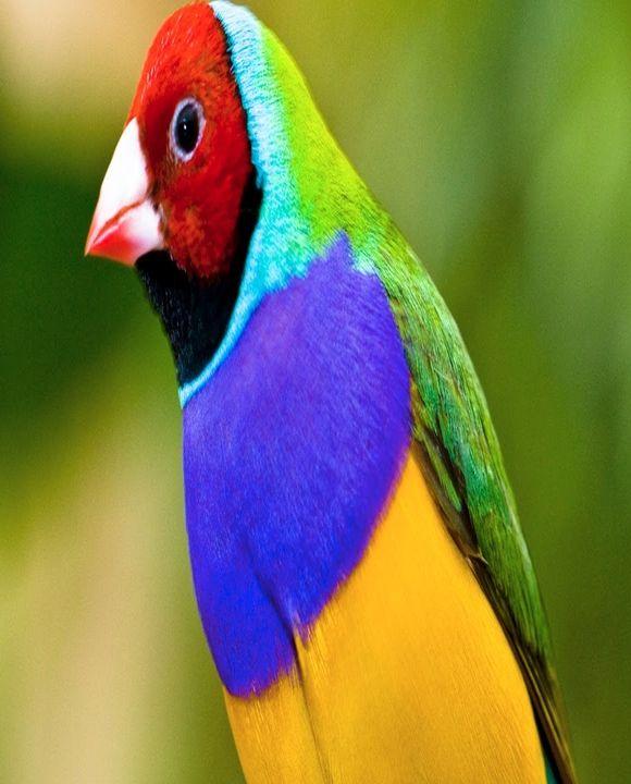 Multi color Java sparrow | *** Pets **** | Birds, Animals