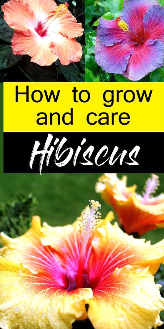 How To Care For Hibiscus Plants Hibiscus Plant