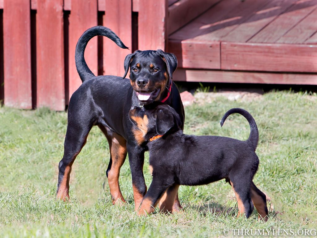 Rottweiler Pups With Natural Tails Rottweiler Puppies Rottweiler