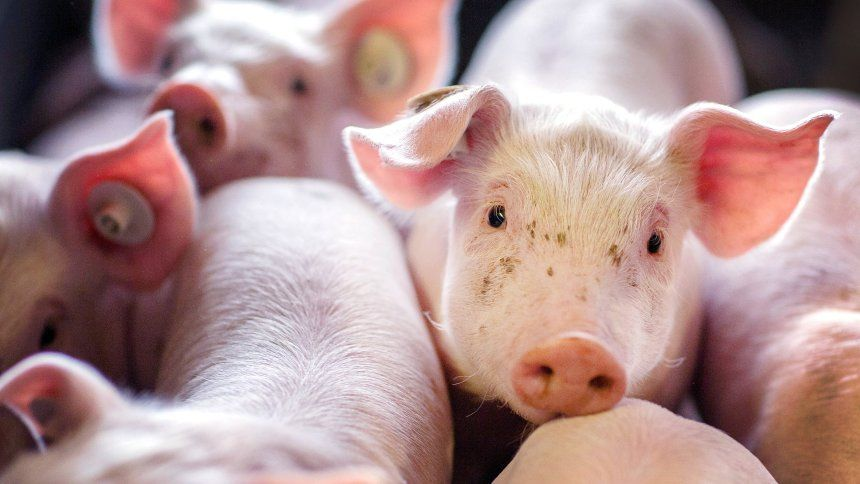 Warum 13 Millionen Schweine In Deutschland Im Mull Landen Der Spiegel Wirtschaft Niedliche Tierbilder Susseste Haustiere Tiere