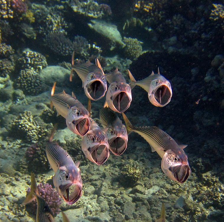 Red Sea and mackerel.