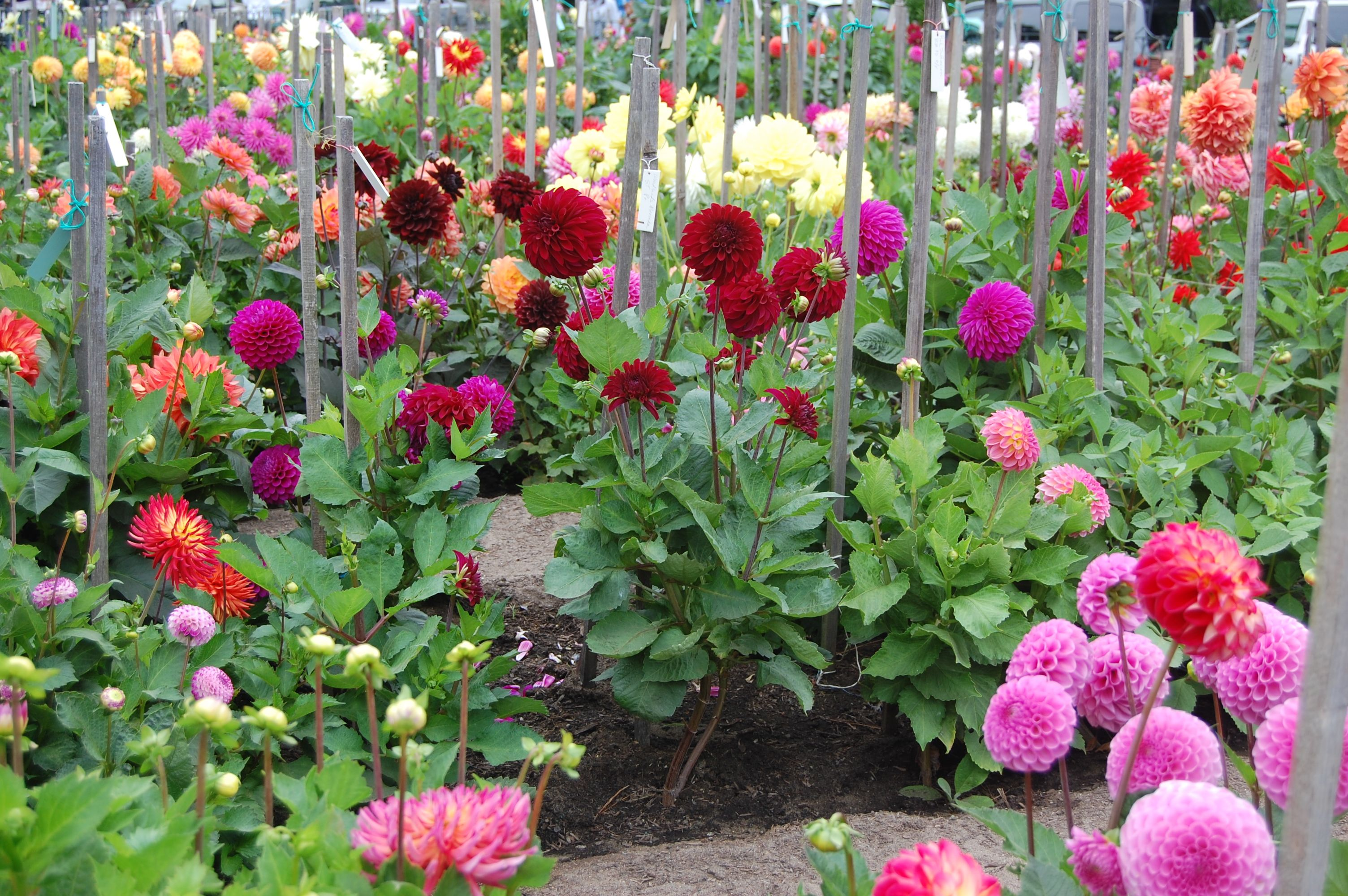Dahlia Garden Wish I Didnu0027t Have To Work And Could Spend All Day In The  Garden!