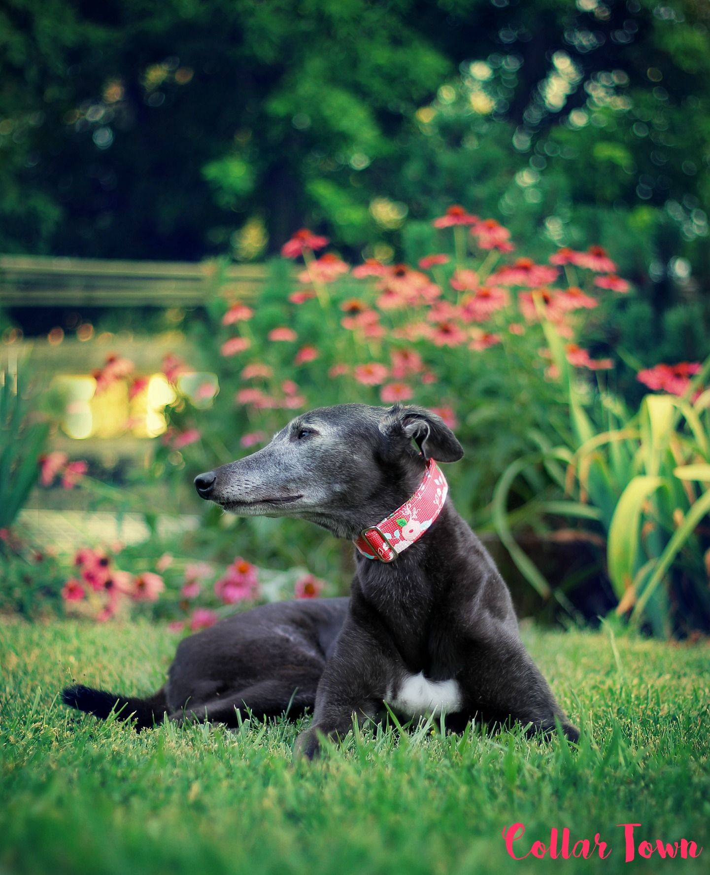 My Beautiful Adopted Greyhound Bella Adopted From Gra Canada In London Ontario Floral Martingale Collar W Martingale Dog Collar Grey Hound Dog Greyhound