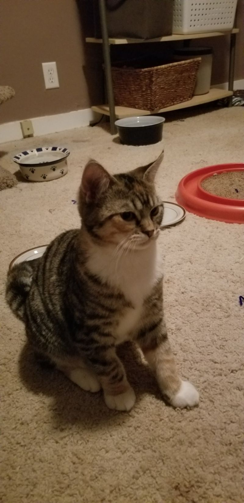 Available Cats Specialty Purebred Cat Rescue Purebred