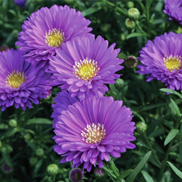 Magic Purple Fall Aster Plants For Sale Free Shipping In 2020 Plants Aster Flower Plant Sale