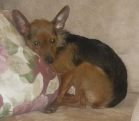 Adopt Chip Video On Petfinder Yorkie Dogs Yorkie Poo Yorkie