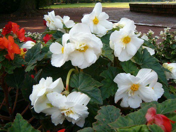 Kwiaty Na Balkon Sloneczny Zacieniony I Wietrzny Tuberous Begonia Begonia Planting Flowers
