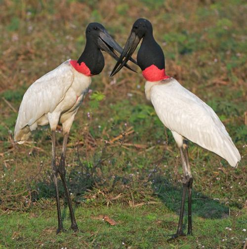 The Jabiru Jabiru Mycteria Is A Stork Found In The Americas From Mexico To Argentina It Is Most Common In The Pantanal Region Of Brazil And The Easte With Images Eikones