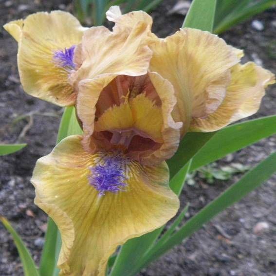 Aladdin S Flame Sdb Iris Iris Garden Iris Flowers