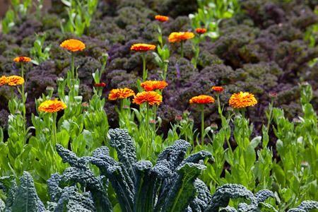 Kale And Calendula Companion Planting Veg Garden 400 x 300