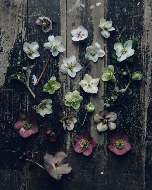 I love this hellebore moment so much. Its from the...