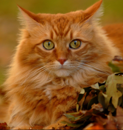 6 Fun Facts About Orange Tabby Cats Orange Cats Orange Tabby Cats Tabby Cat
