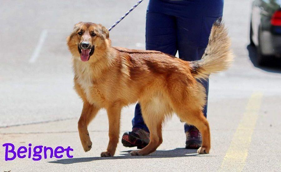 Adopt Benny On Dog Friends Golden Retriever Rescue Shelter Dogs