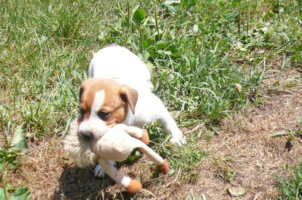 Beagle Feist Mix Pets Animals