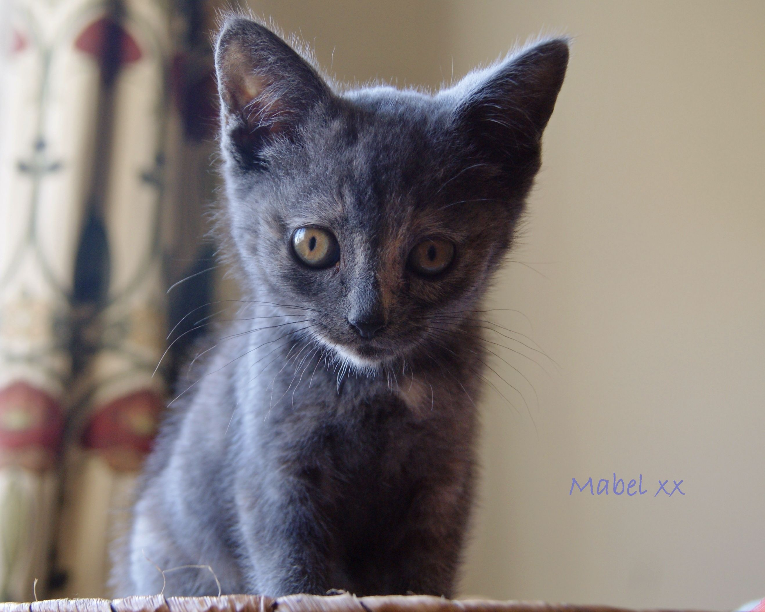 Mabel Our New 9 Week Old Dilute Tortie Rescue Kitten Kitten Rescue Kitten Animals
