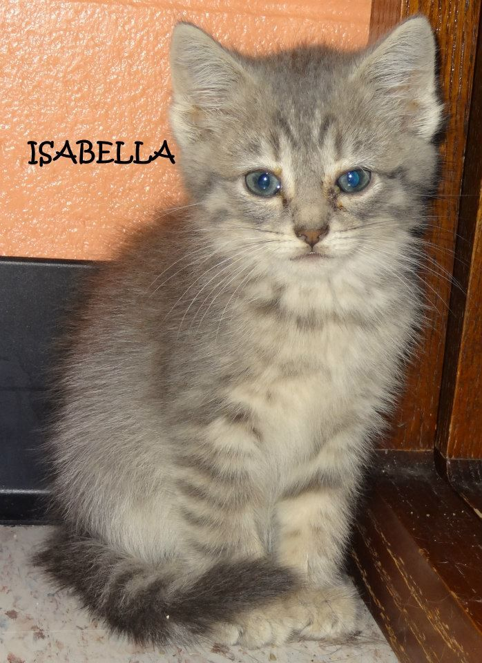 UPDATE-ADOPTED! AVAILABLE NOW! Tag# 29797-4  Name is Isabella Female-not spayed  Grey Tiger  Approx. 6 weeks old  https://www.facebook.com/photo.php?fbid=637664039637752&set=a.637663819637774.1073742002.267166810020812&type=3&theater