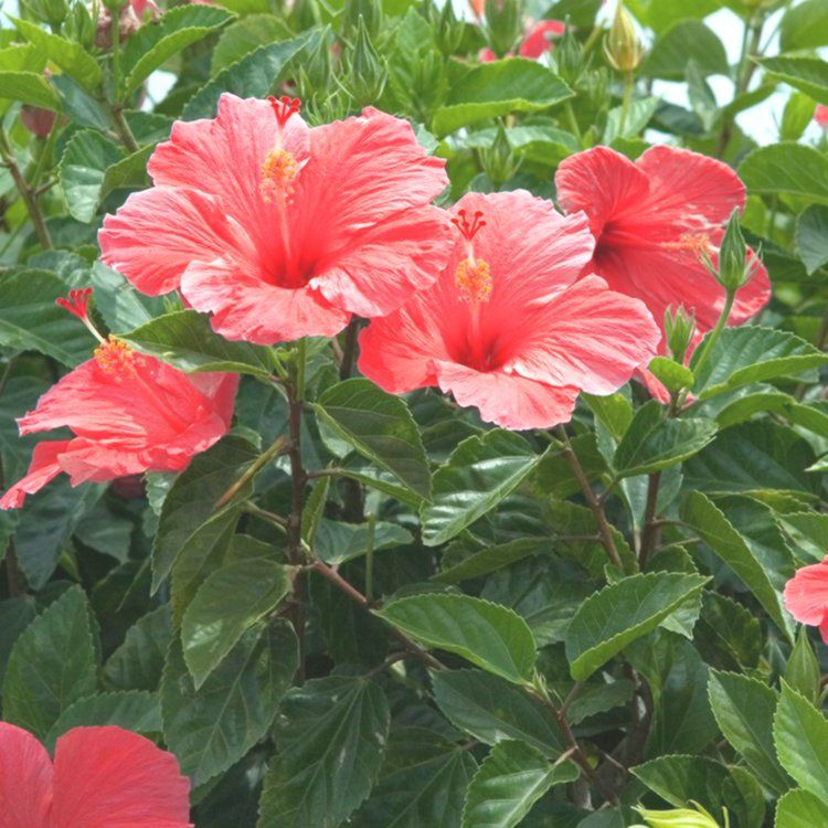 Both Cool And Good For Your Health Here Are The Benefits Of Hibiskus Hibiscus Tea Benefits For Your Health Hibiscus Tea