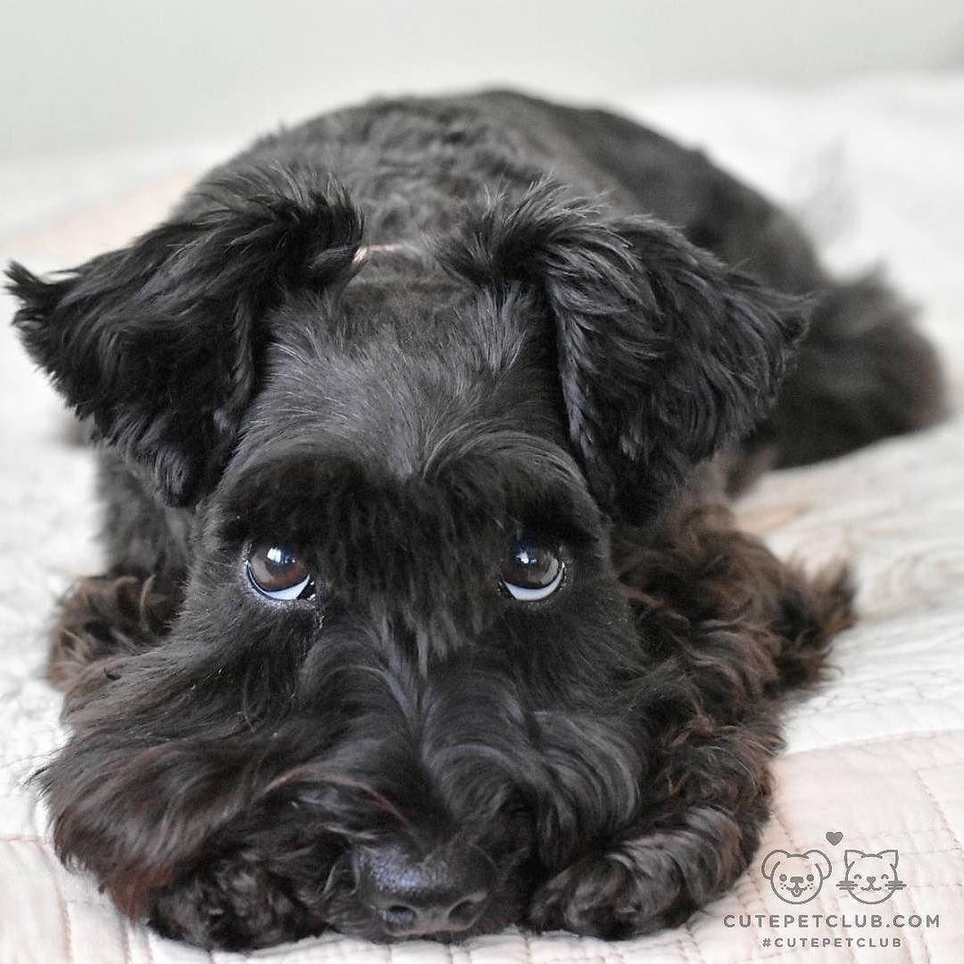 Cute Black Schnauzer Mini Schnauzer Puppies Schnauzer Puppy Minature Schnauzer