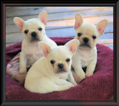 French Bulldog puppies for sale Minnesota Breeder