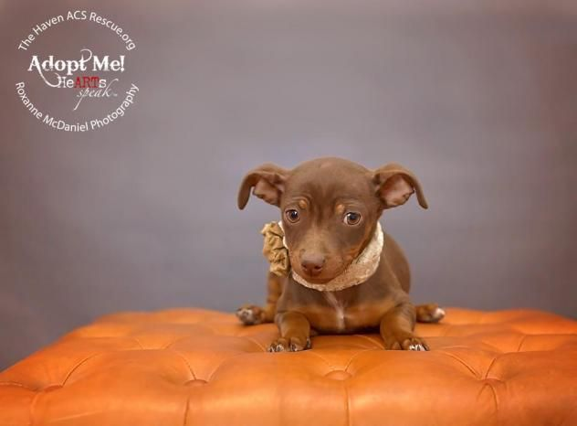 Adopt Penny On Dogs Rat Terriers Animal Shelter