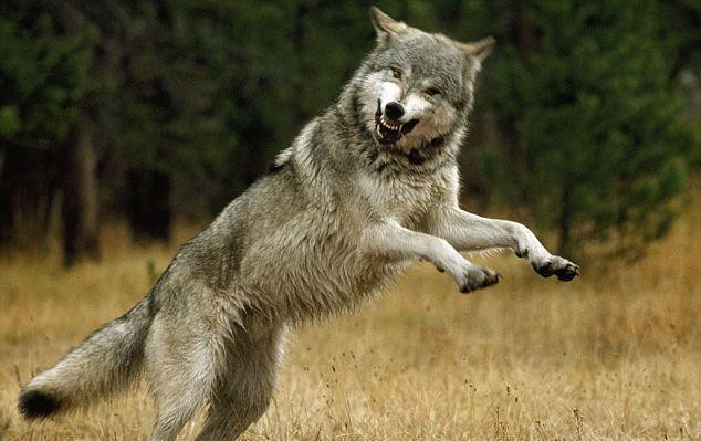 Волк прикол картинка, подписать открытку