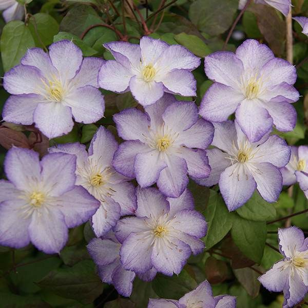 Buy clematis (group 3) Clematis 'Lucky Charm ('Zo09067') (PBR)': Delivery by Crocus
