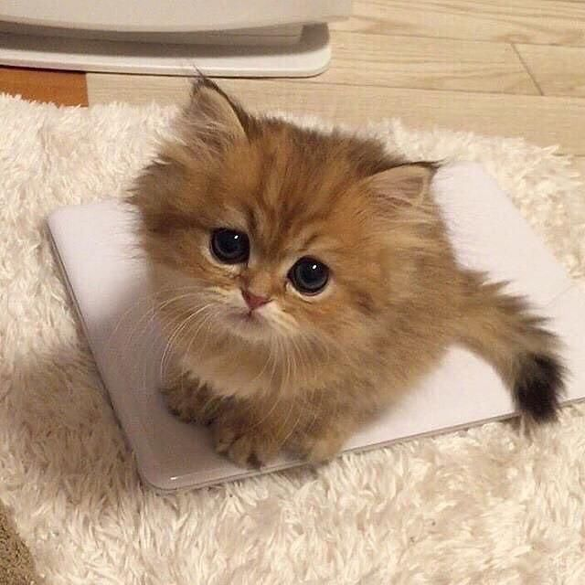 Pin By Laura Garcia On Claire S Cats Kittens Cutest Cutest Kittens Ever Cats Kittens
