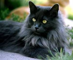 Picture of Sari, a female Persian/Norwegian Forest Cat