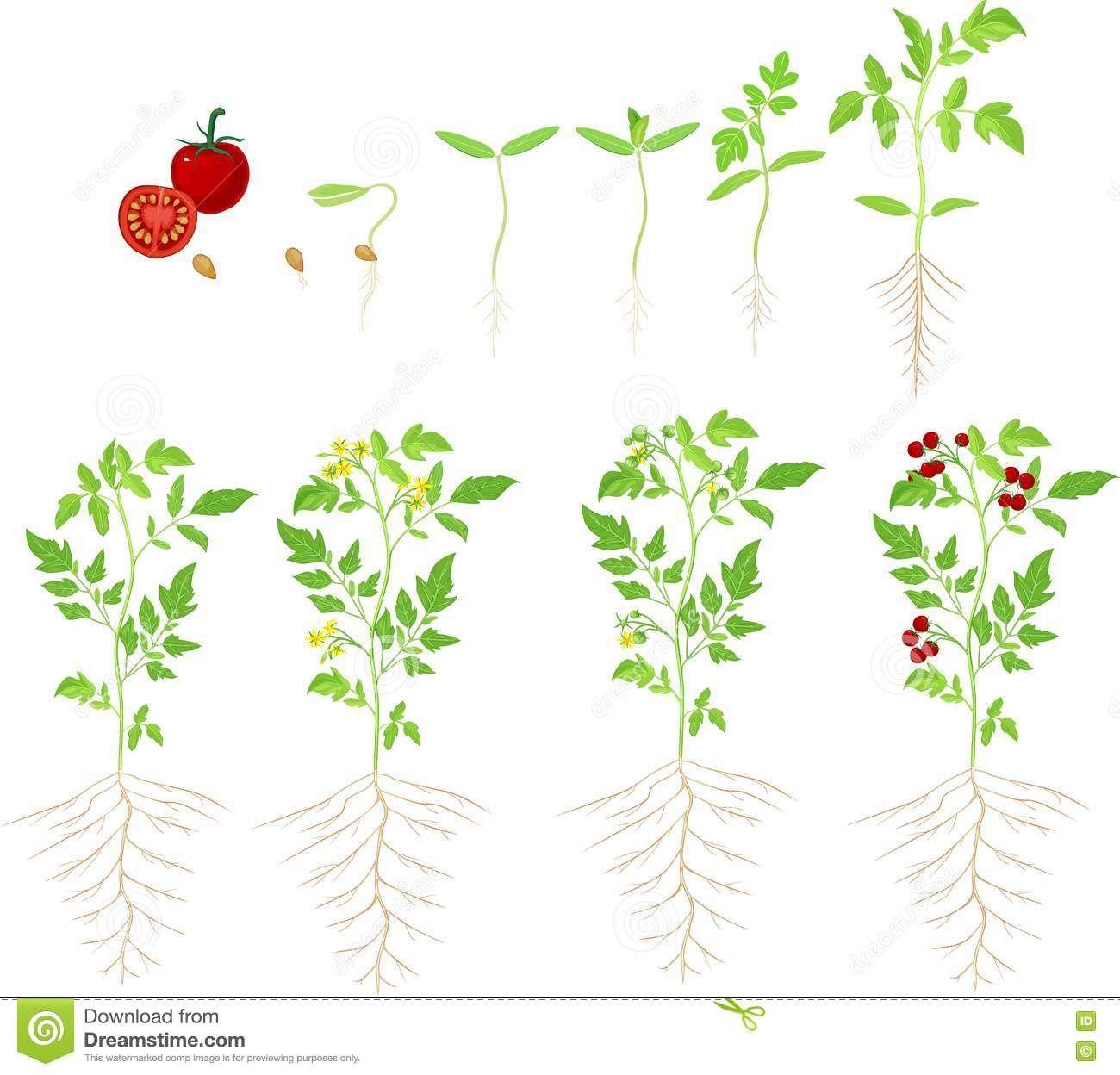 worksheet Stages Of Plant Growth Worksheet cherry tomato growing stage plant 71727898 jpg mpg jpg