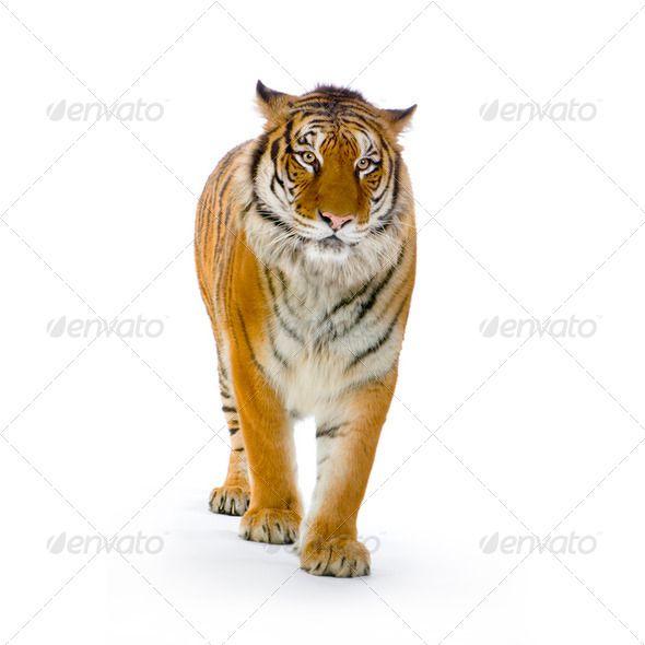 Tiger Standing Up Tiger Artwork Tiger Images Animals Wild