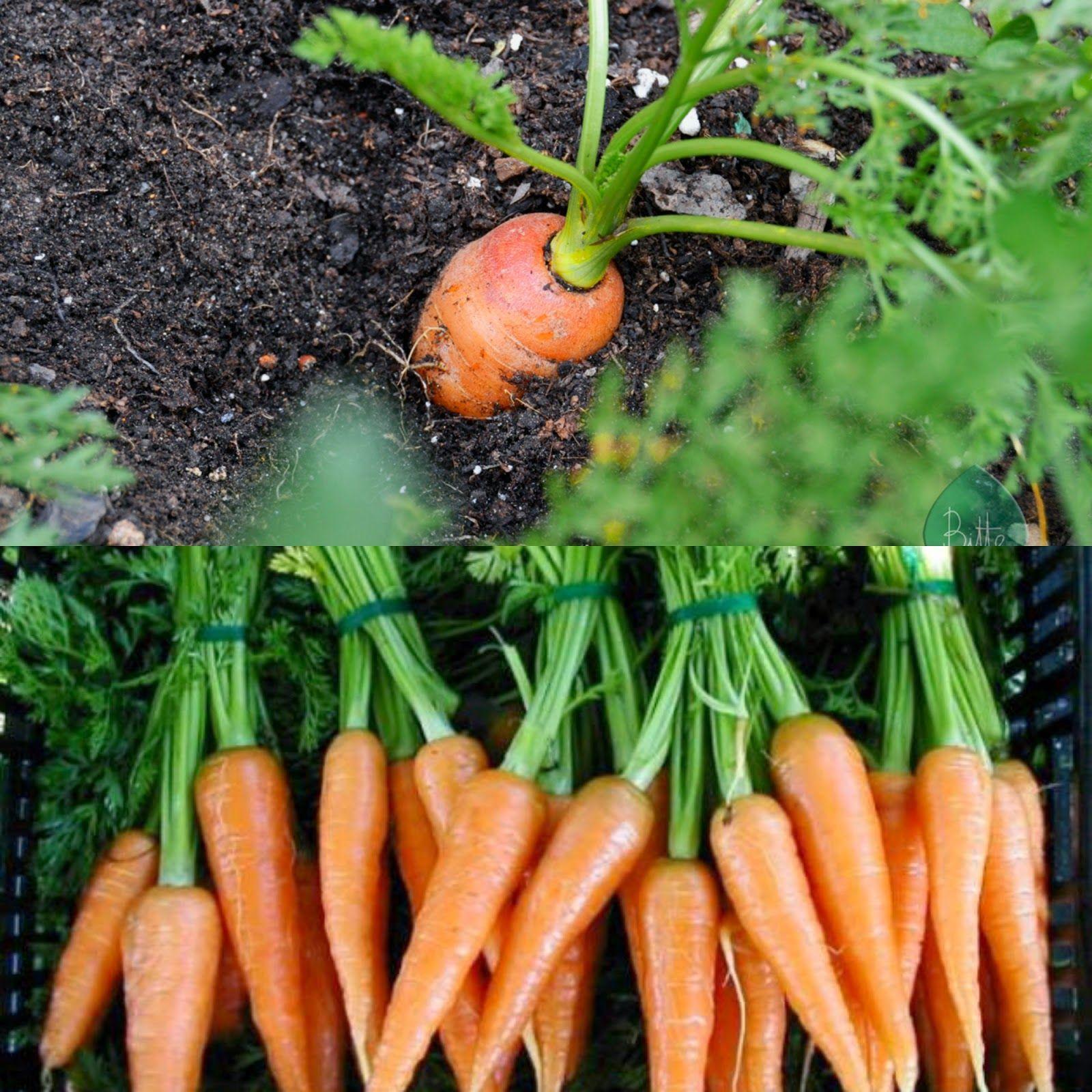 Lo Que Nos Brinda La Zanahoria Zanahoria Vegetal Brindar Partes que se usa de la zanahoria beneficios de la zanahoria: pinterest