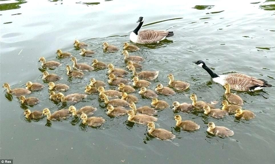 Baby Ducks Care – Athayaideas.co Baby Ducks Care – Athayaideas.co Baby Care baby duck care