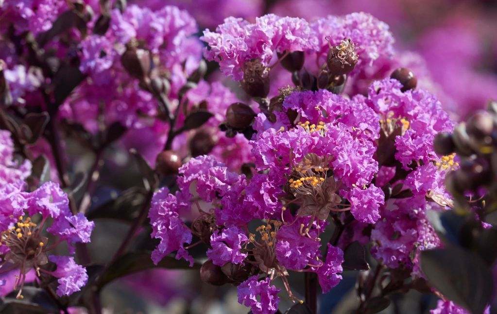 Black Diamond Crape Myrtle Purely Purple Plant 1 Gallon Myrtle Tree Purple Plants Flower Landscape