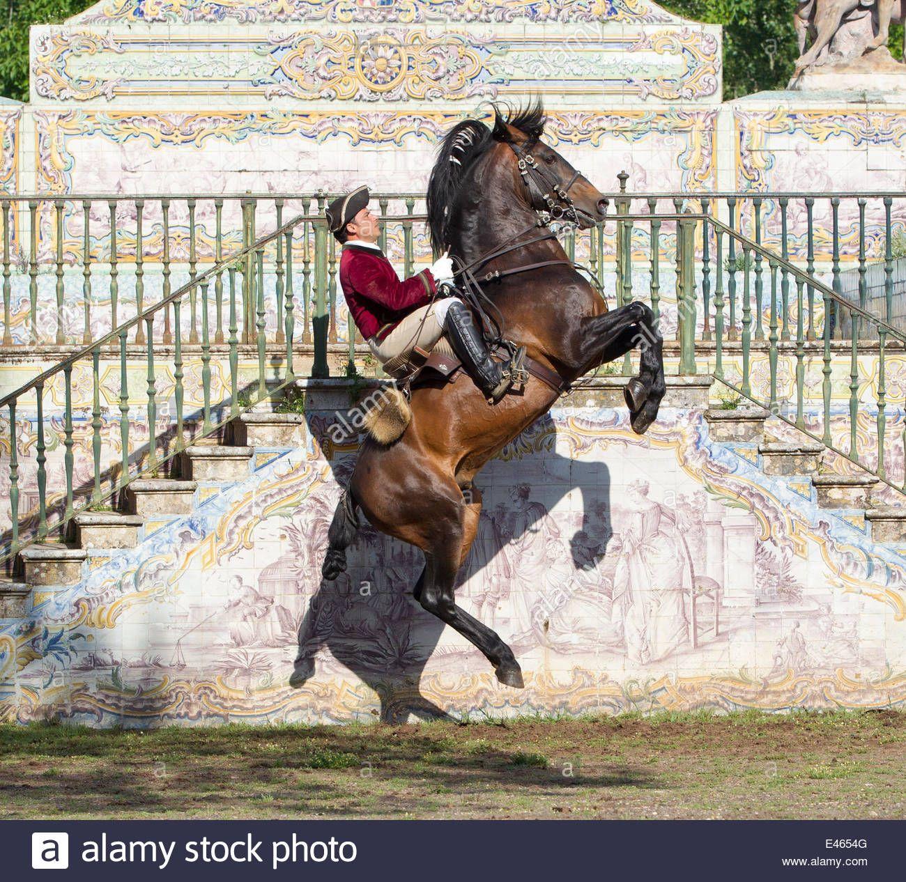 lusitano horse lusitano horse man training stallion in dressage