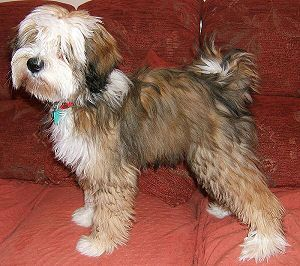 Another darling Tibetan terrier! They are the best dogs