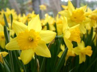 An Illustrated List Plants Daffodils Daffodil Gardening