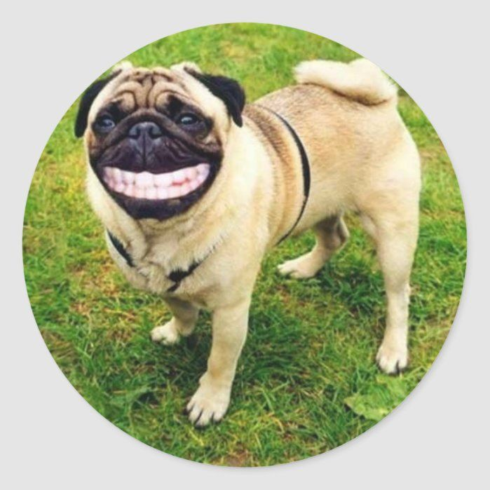 Photo of dog smile pug Classic Round Sticker – Custom Stickers – Make Your Own Personalized Decorative Decals