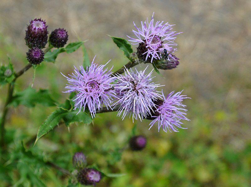 Chwasty Polne Plants